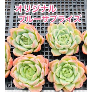 オリジナルブルーサプライズ 多肉植物(その他)