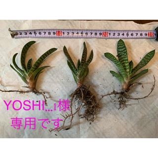 多肉植物 虎の巻 抜き苗 1株(その他)