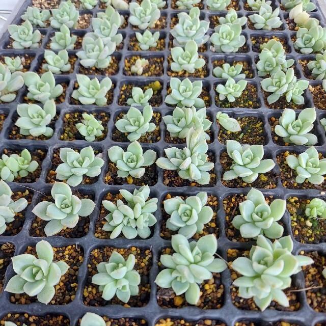 白牡丹 10本 多肉植物 自家栽培苗 エケベリア ハンドメイドのフラワー/ガーデン(プランター)の商品写真