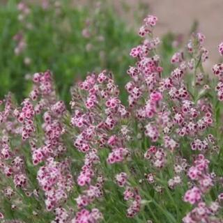 秋蒔き  小さくて可愛いお花  シレネガリカの種 100粒(その他)