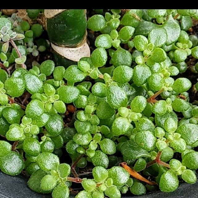 afice1330様専用ページ 多肉植物バラエティーセット 12種類20本 ハンドメイドのフラワー/ガーデン(プランター)の商品写真