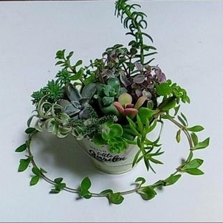 多肉植物バラエティーセット 根付き、カット苗 12種類20本