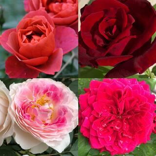 ☆お得香りの良いバラ苗4セット☆