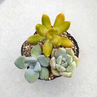 多肉植物 【0628】  多肉植物3種セット(銘月、白牡丹、淡雪)