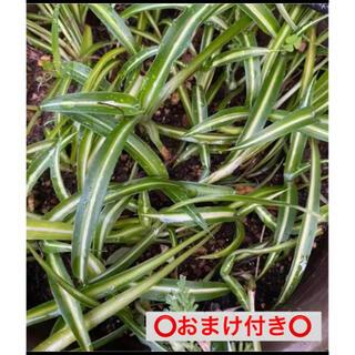 オリヅルラン(その他)