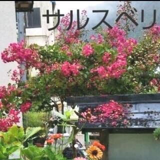 サルスベリ苗木(その他)