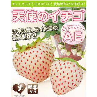 2株セット⭐︎無農薬 白いちご 天使のいちご エンジェルエイト いちご苗(フルーツ)
