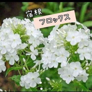 宿根 フロックス 2株(その他)
