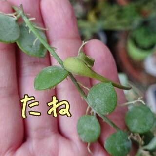 ディスキディア ヌンムラリア 種(その他)