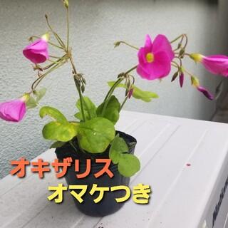 【オマケつき】オキザリス・ボーヴィー 抜き苗 3株~5株(プランター)