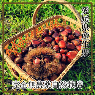 愛媛県産 完全無農薬 採れたて新鮮な生栗1.3kg  大粒多めのミックス 栗