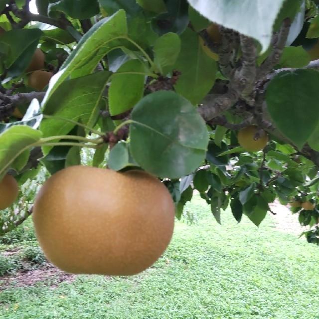 長野県産 梨 南水  家庭用(約3~4㎏) 食品/飲料/酒の食品(フルーツ)の商品写真