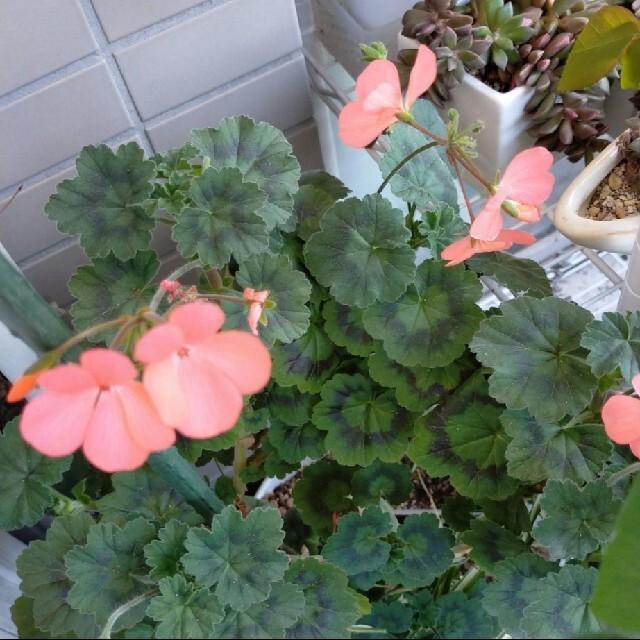 ⭐ゼラニウム サーモンピンクのお花♪蕾付き 抜き苗⭐強いのでもりもり育ちます♪ ハンドメイドのフラワー/ガーデン(プランター)の商品写真
