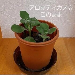 アロマティカス☆このまま(プランター)