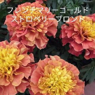 フレンチマリーゴールド ストロベリーブロンド  10粒  花種(プランター)