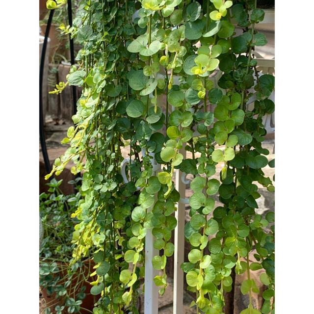 リキマシアオーレア カット苗 挿し穂 7本 ハンドメイドのフラワー/ガーデン(その他)の商品写真