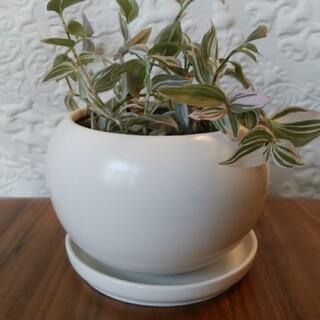 鉢 ピンクの斑の観葉植物付き(プランター)