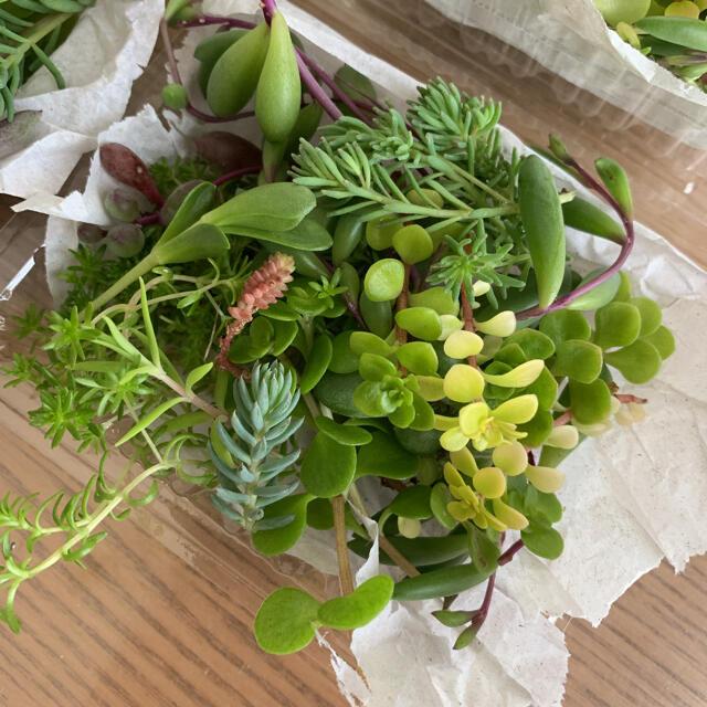 多肉植物 寄せ植え 希望あれば育て方送ります 1パック  カット苗 ハンドメイドのフラワー/ガーデン(その他)の商品写真