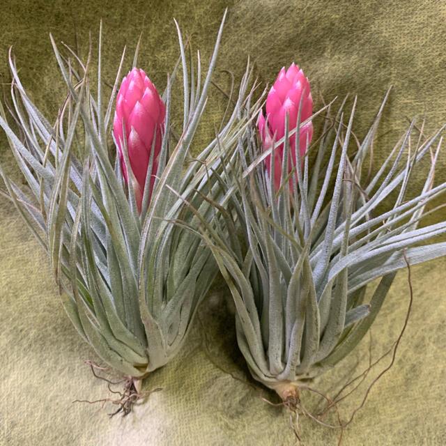 生花 チランジア コットンキャンディ-  2個 エアプランツ 観葉植物 ハンドメイドのフラワー/ガーデン(その他)の商品写真