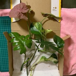 ⑱  観葉植物 3種  タンゴ、シンゴ、ステータス(ラクマパック配送)(その他)