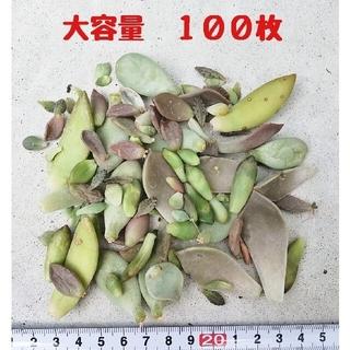 多肉植物 葉挿し 100枚 チョコレート錦入り(その他)