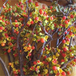 9月16日収穫 ツルメモドキ まん丸オレンジの実がとってもキュート(ドライフラワー)