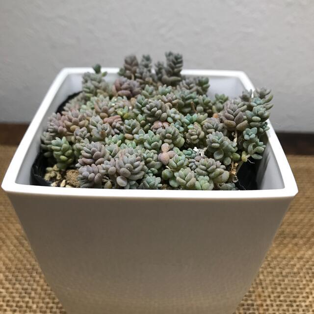 多肉植物ダシフィルム ハンドメイドのフラワー/ガーデン(その他)の商品写真