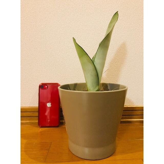サンスベリア シルバーキング 観葉植物 ハンドメイドのフラワー/ガーデン(その他)の商品写真