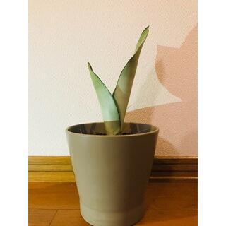 サンスベリア シルバーキング 観葉植物