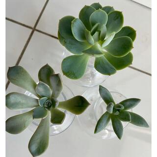 多肉植物3種千代田の松・ドロシー・ピンクプリティのカット苗