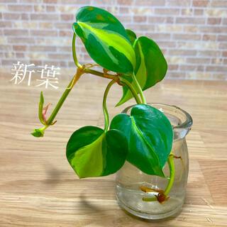 観葉植物 オキシカルジウム カット苗