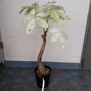 激レアもの‼️③パキラミルキーウェイ❗️斑入り‼️幹太!樹形綺麗!接木!