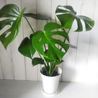 ②モンステラ デリシオサ‼️人気観葉植物❗️樹形綺麗‼️切れ込み綺麗❗️受皿付