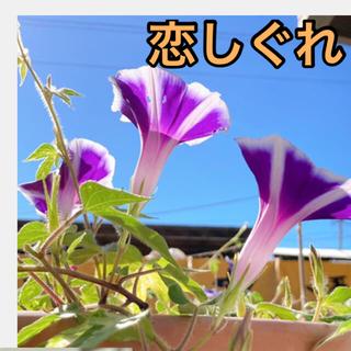 恋しぐれ ラベンダー 種 13粒 ハンキング日本朝顔(プランター)