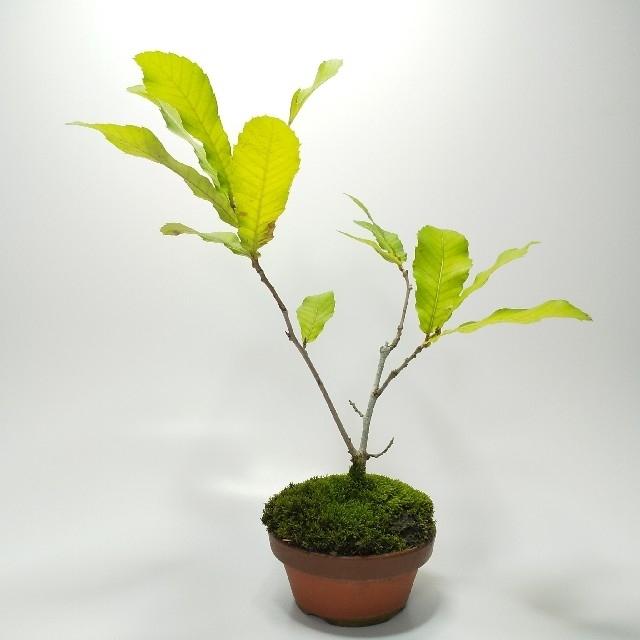 クヌギ(櫟)S001 ハンドメイドのフラワー/ガーデン(その他)の商品写真
