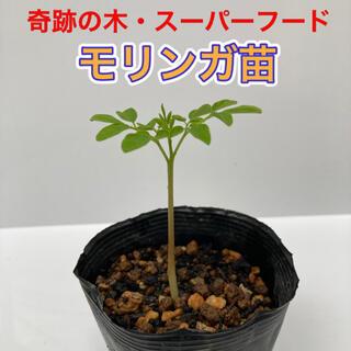 モリンガ苗 1鉢