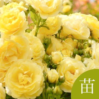 ◆ ブーケの様に咲き誇るレモンイエローのバラ 挿し木苗(発根済)A(その他)