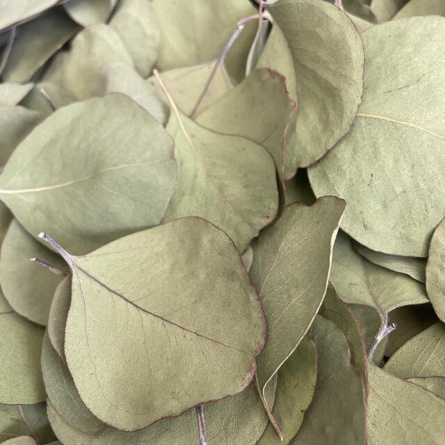 ユーカリ ポポラスの葉 ハンドメイドのフラワー/ガーデン(ドライフラワー)の商品写真