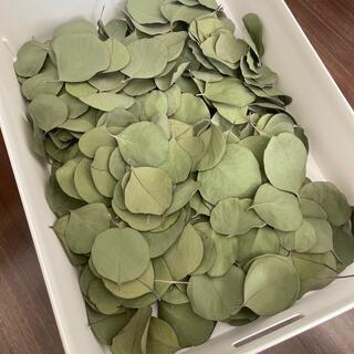 ユーカリ ポポラスの葉