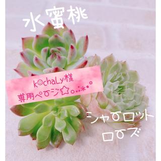 多肉植物 エケベリア 韓国苗 水蜜桃 シャーロットローズ ピンクルルビー♡♡(その他)