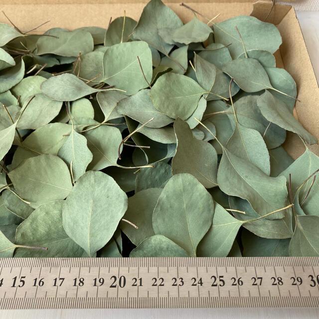 No.269  ユーカリポポラス ドライフラワー 花材 180枚 ハンドメイドのフラワー/ガーデン(ドライフラワー)の商品写真