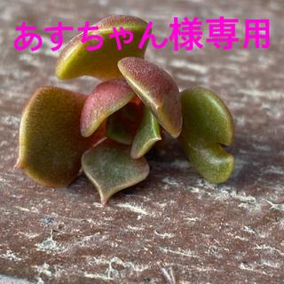 多肉植物 ビッグレッドドレス  カット苗(その他)