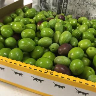 【数量限定】朝採れオリーブ!たっぷり1.5キロ!