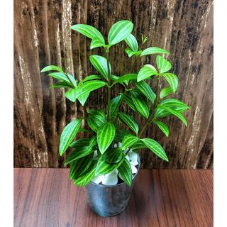 ペペロミア 観葉植物 ハイドロカルチャー(プランター)