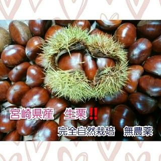今年ラスト!!宮崎県産 生栗 1.5㎏ 完全自然栽培 無農薬(フルーツ)