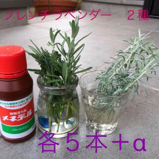 無農薬 フレンチラベンダー カット苗 挿し穂 処理済 5本+α✖️2種(プランター)