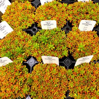 【NJ i2-8】セダム 虹の玉 2.5号ポット 抜き苗 多肉植物