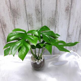 ヒメモンステラ 観葉植物 ハイドロカルチャー(プランター)