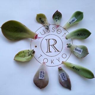 多肉植物◎葉挿しセット 葉ざし 葉さし