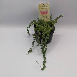 多肉植物 ピーチネックレス